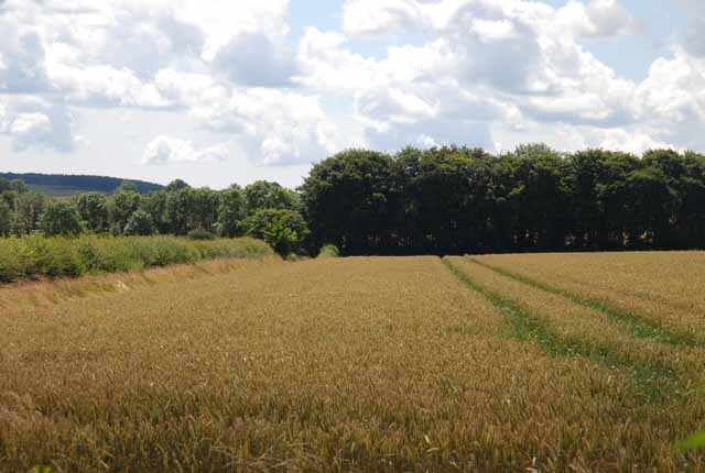 Crops growing south of Old Shaftsbury Drove