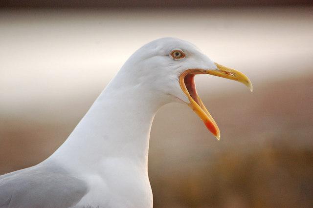 A Cornish seagull