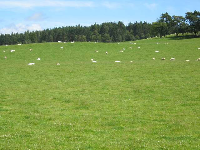 Sheep grazings at Dores