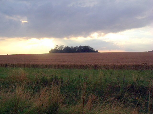 Copse in  wheatfield