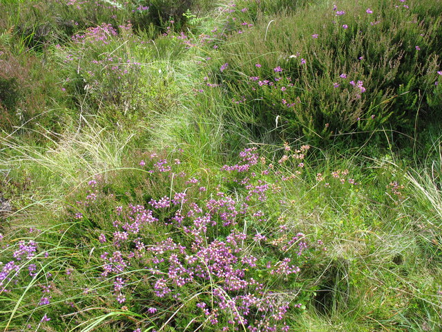 Calluna vulgaris. Grug. Ling. Common Heather