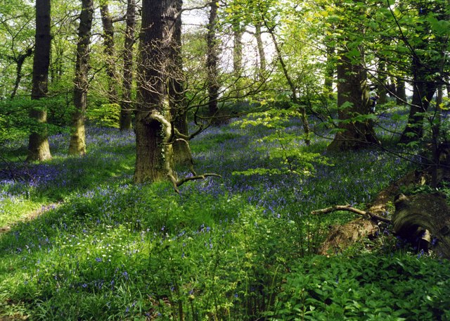 Bluebells in the Hermitage