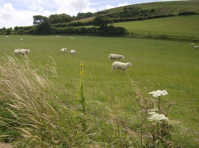 Sheep near Garstons