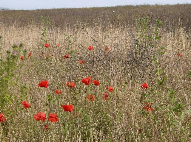 Poppies near Chillerton