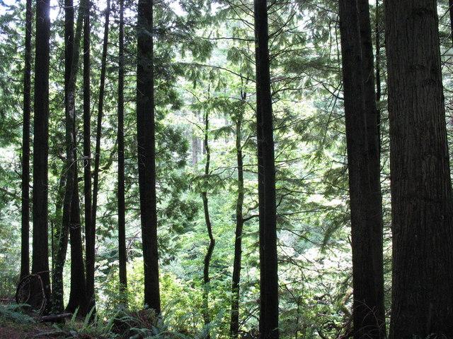 Tall pines alongside Afon Mawddach