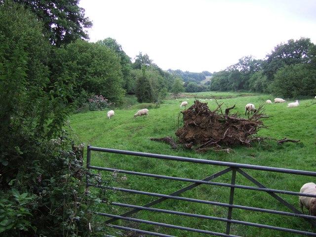 Sheep grazing by Holvert Lane
