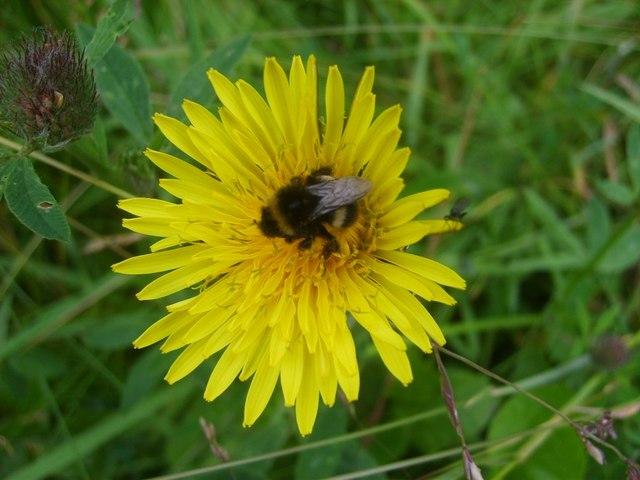 Bee feeding on hawkbit