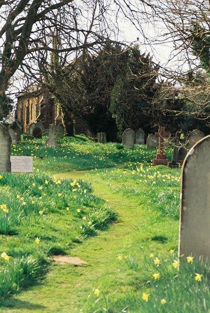 Alderholt: daffodils in St. James's churchyard