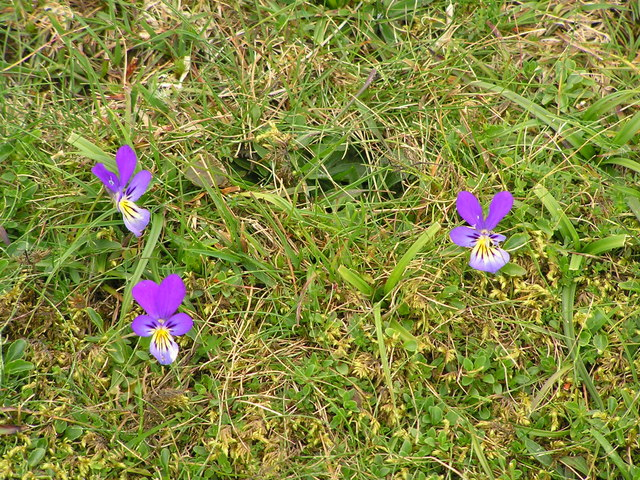 Mountain pansies beside the footpath.