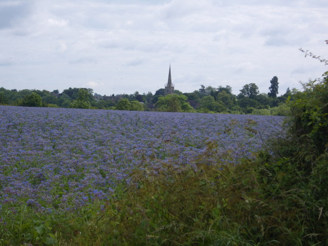 Field planted with Borage, Warkworth Road, Middleton Cheney Church in the distance