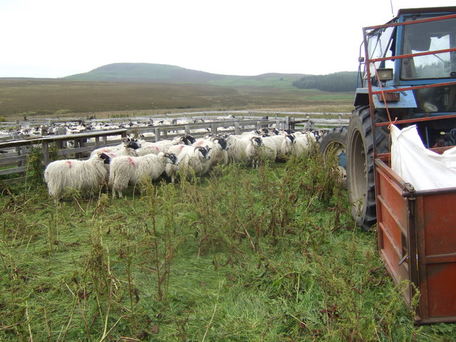 Botany; sheep about to be shorn