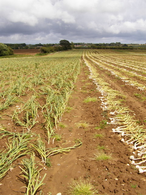 Garlic crop at Bathingbourne Farm
