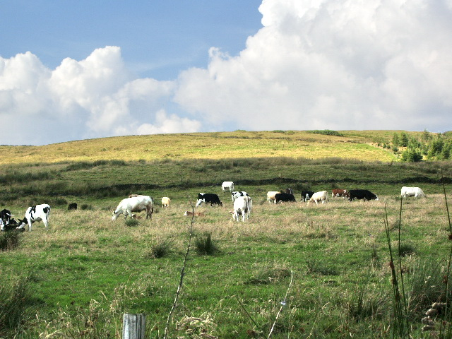 Cattle near Cunliffe's Farm