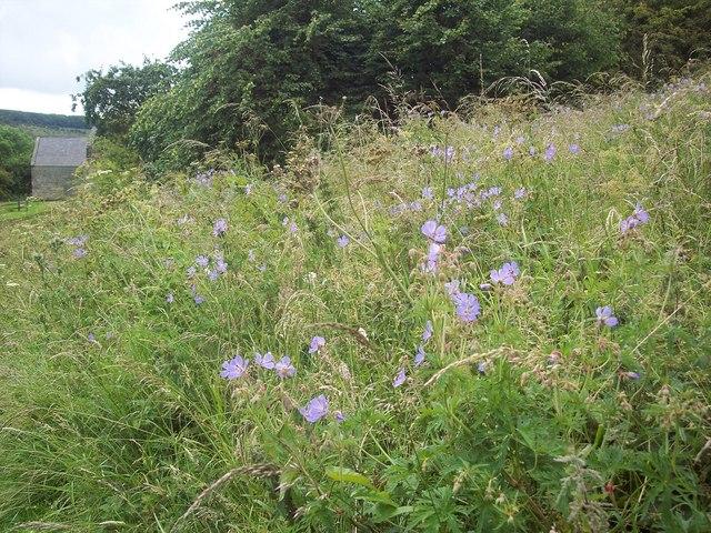 Meadow Cranesbill at Wharram Percy