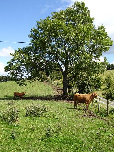 Cattle near Figyn Wood