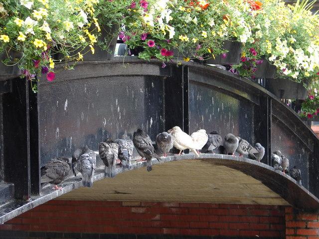 Pigeons' Umbrella