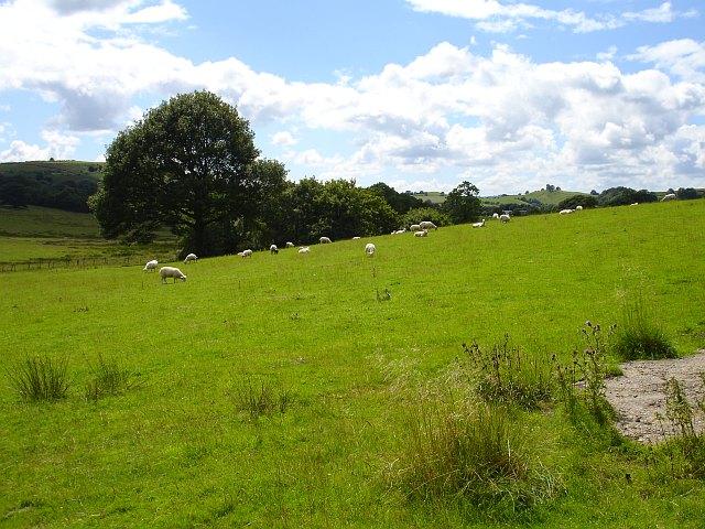 Sheep grazing below Graig Wood