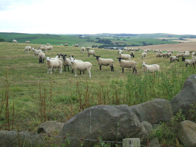 Sheep flock at Hillhead