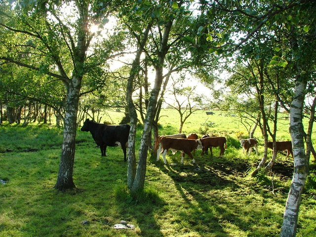 Cows in trees at the edge of a field
