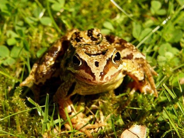 Common Frog, Glenmore