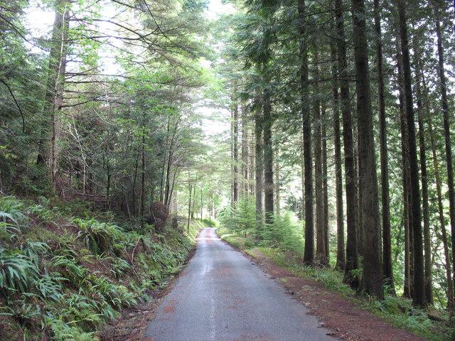 Tall elegant pines along the Ferndale road