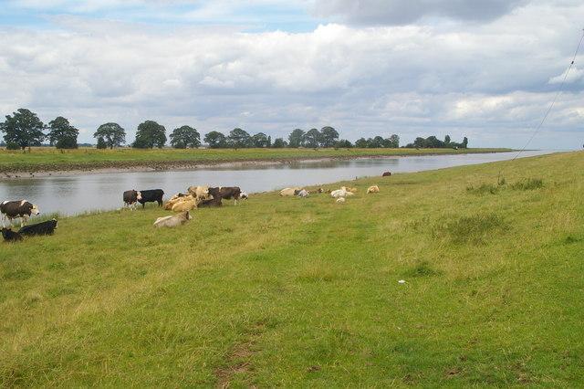 Cattle by the Nene