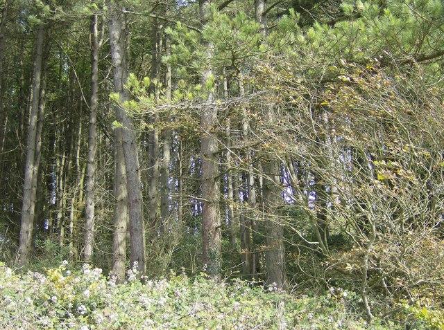 Mixed woodland at Westridge Copse