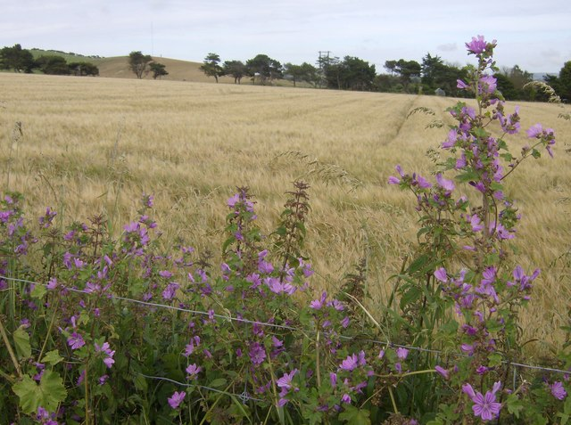 Common mallow and barley