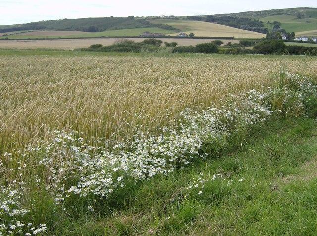 Daisies and barley