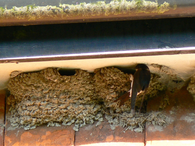 House martin and its nest, Wootton Rivers