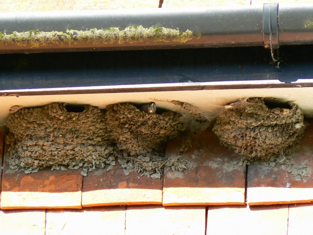 House martin chick in its nest, Wootton Rivers