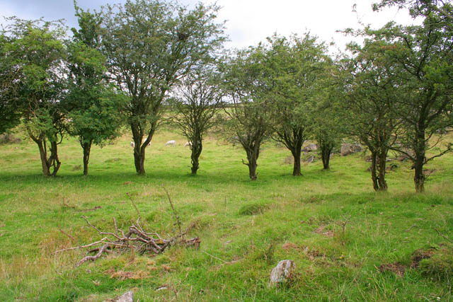 Hawthorn trees on grazing land