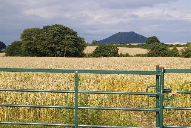 Ripening wheat near Dryton