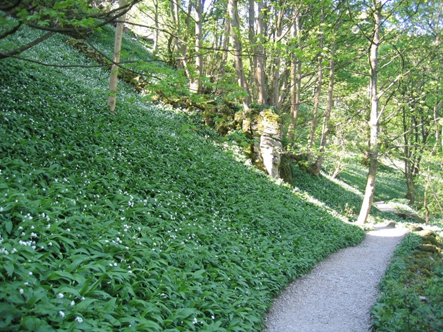 Wild Garlic and Footpath to Janet's Foss