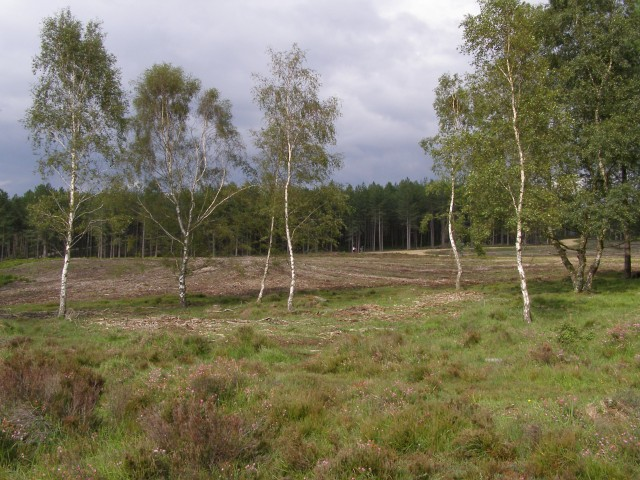 Silver birch in a cleared area, Dur Hill Inclosure, New Forest