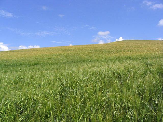 Barley field near Galadean