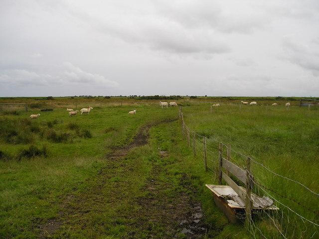 Sheep on Cockerham Marshes