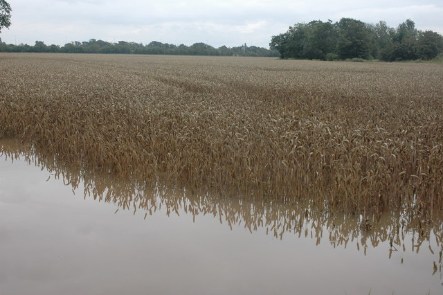 Flooded field of wheat at Baughton