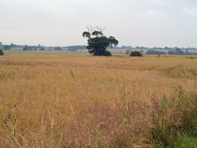 Ripening Oilseed Rape