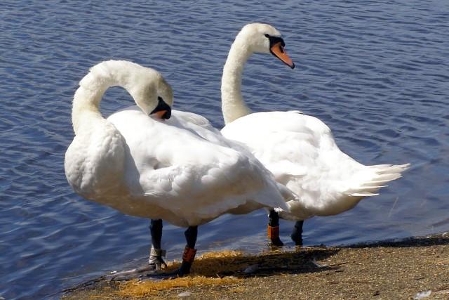 Swans next to Avon Water, Keyhaven