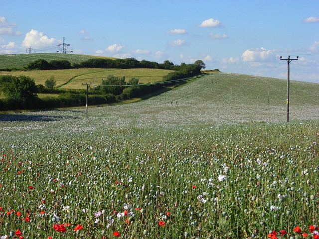 Poppies, Streatley