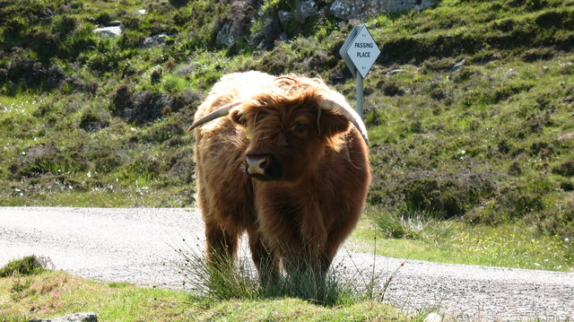 Traffic hazard, Great Bernera
