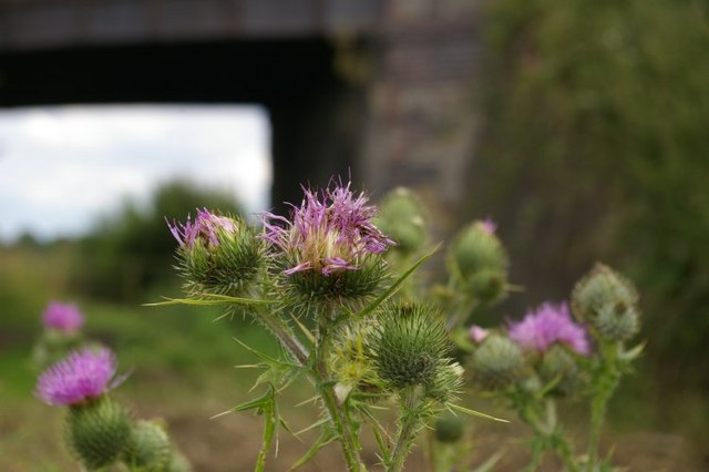 Close-up of thistles with railway bridge in background