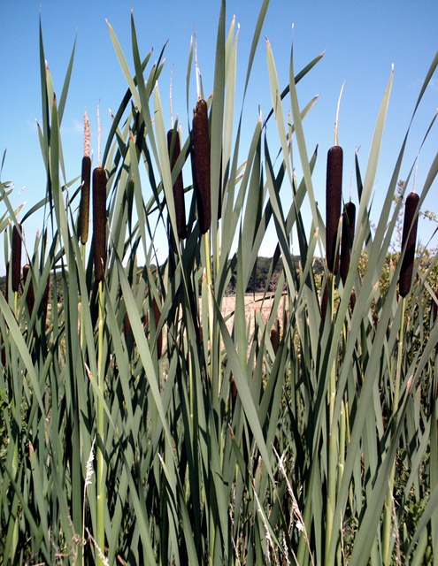 Bulrushes - River Roach