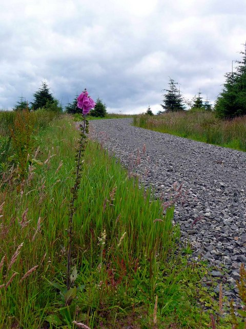 Forest track with foxglove