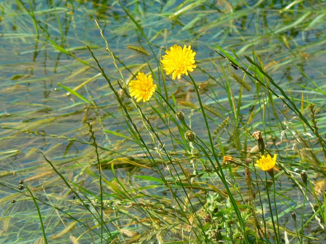 Yellow flowers in the water meadow, Cricklade