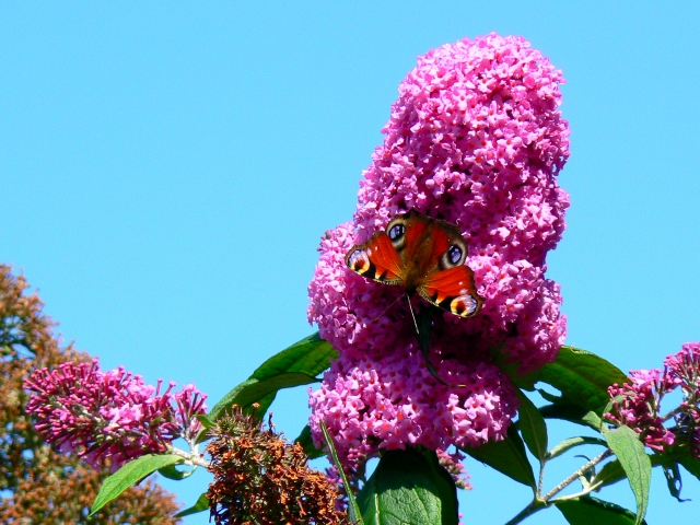 Peacock butterfly on the buddleia, Swindon