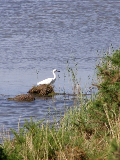Egret in the marshes, north-west of Moses Dock