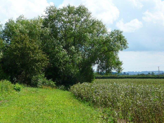 Arable crops and a willow tree near Bushfurlong Farm.
