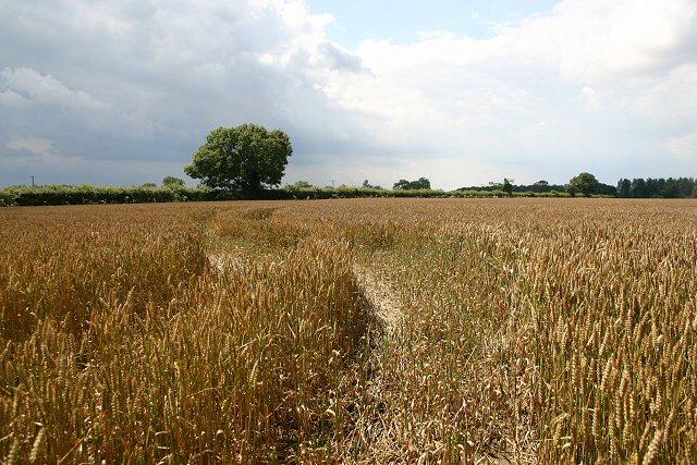 Wheat field south of Wellingham